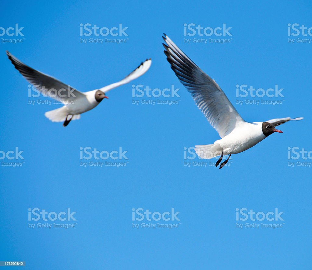 Seagulls flying high in the open blue sky