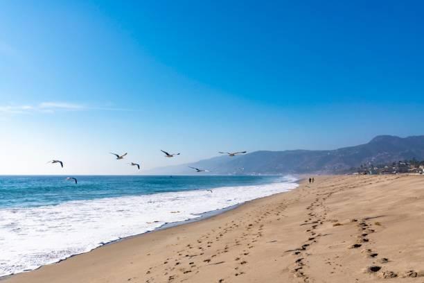 seagulls flying in malibu beach california - uccello marino foto e immagini stock