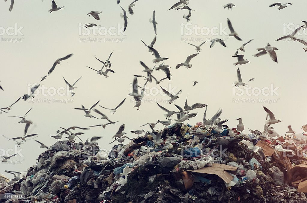 seagulls flying over a landfill stock photo