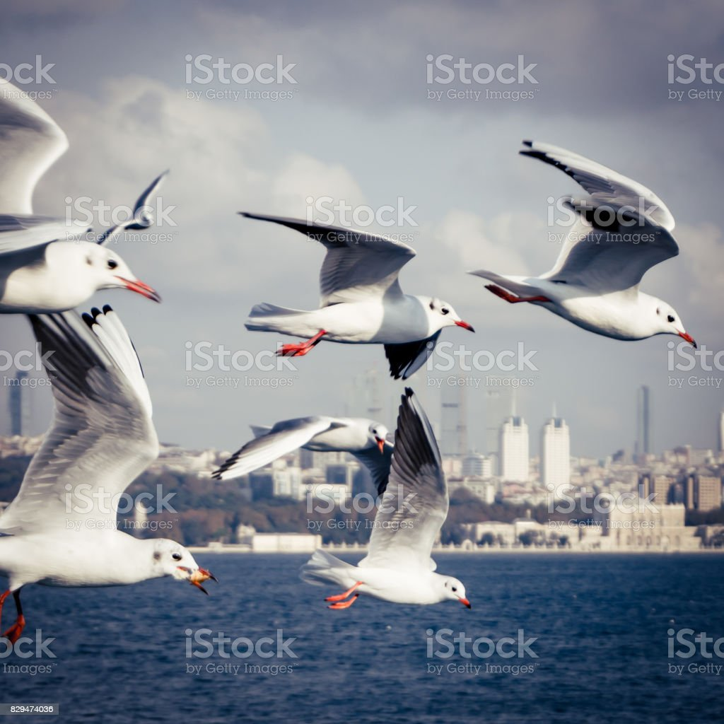Seagulls flying over bosphorus in Istanbul Turkey stock photo