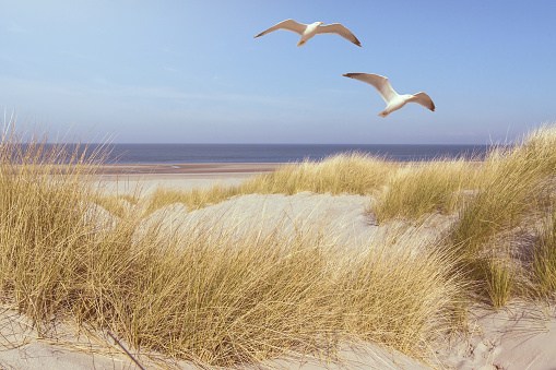 seagulls flying over grass covered dunes on a beach with ocean in background
