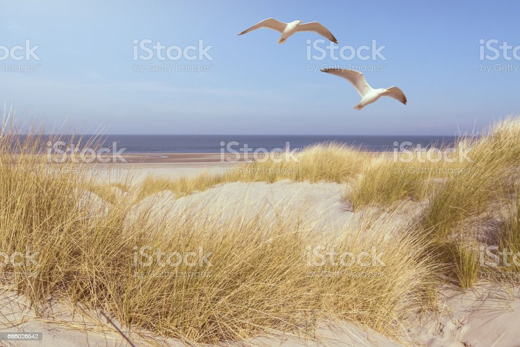 seagulls flying over grass covered dunes on a beach with ocean in background – Foto