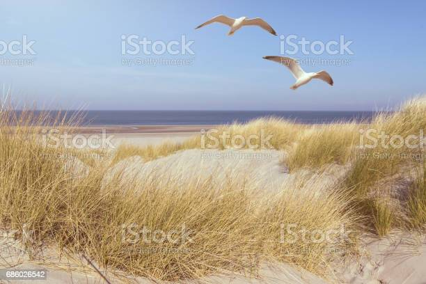 Photo of seagulls flying over grass covered dunes on a beach with ocean in background