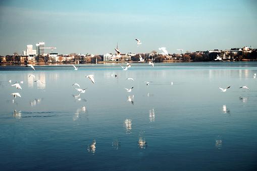 Seagulls flying over the alster lake Hamburg