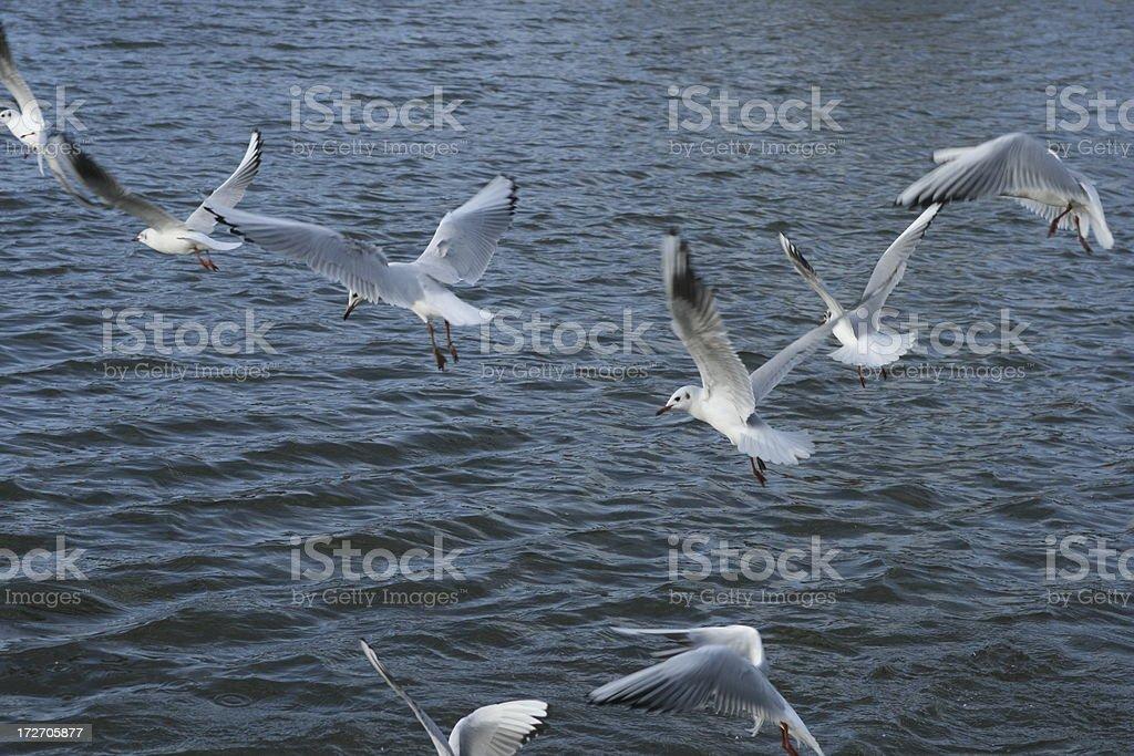 seagulls - Flying #1 stock photo