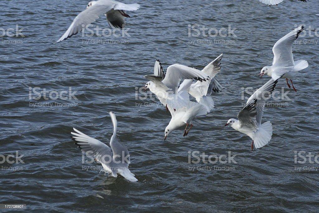 seagulls - flying #2 stock photo