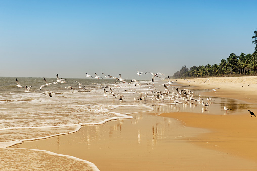 Seagulls flying up at the beach,Neeleswhar,Kerala,India.