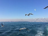 Seagulls following a ferry traveling across the Bosphorus in Istanbul.