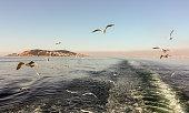 Seagulls following the ferry across the Bosphorus