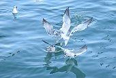 대천항에서 원산도 가는 여객선에서 배를 따라 먹이를 갈망하는 갈매기들의 생동감 있는 모습을 담았습니다.