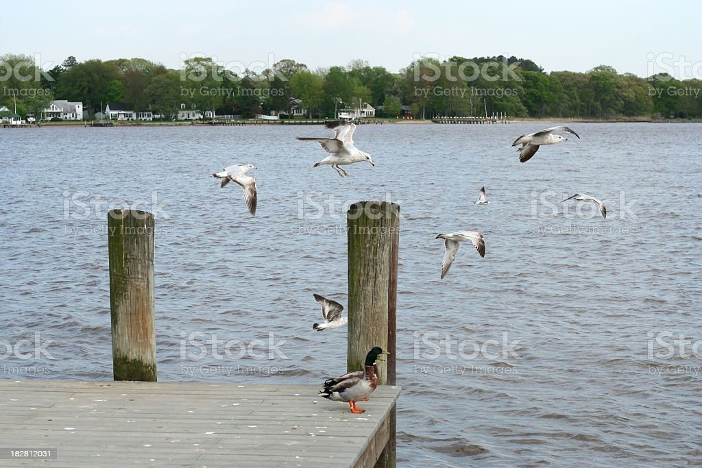 Seagulls from the dock stock photo