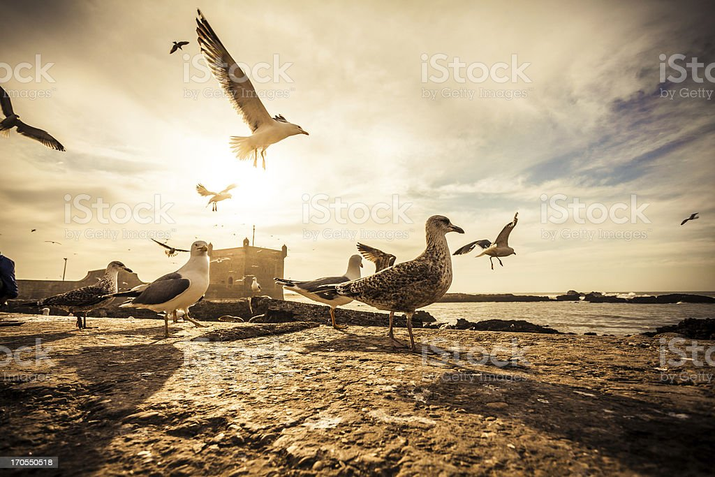 Seagulls in Essaouira Harbor at Sunset, Morocco stock photo