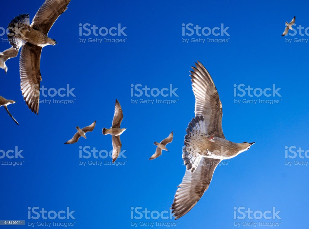 6 seagulls in flight blue sky stock photo