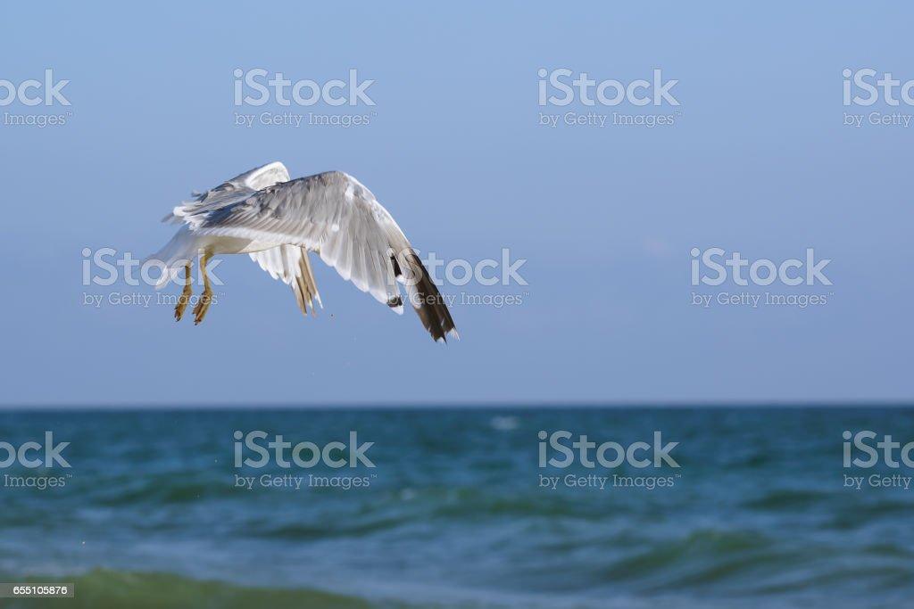 Seagulls (lat. Larus argentatus) in flight over sea stock photo