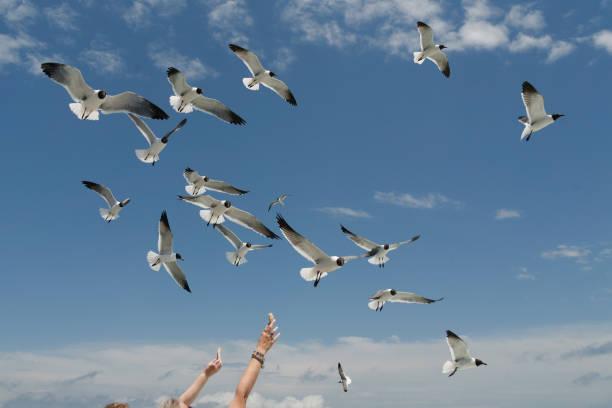 Seagulls in flight stock photo