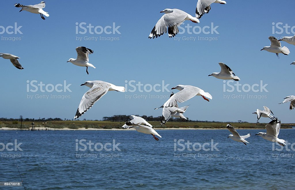 Seagulls in flight royalty-free stock photo