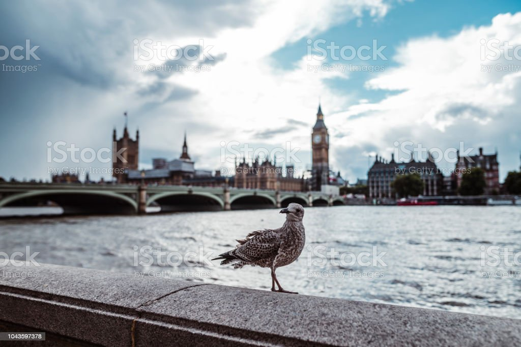 Seagulls in front of Big Ben stock photo