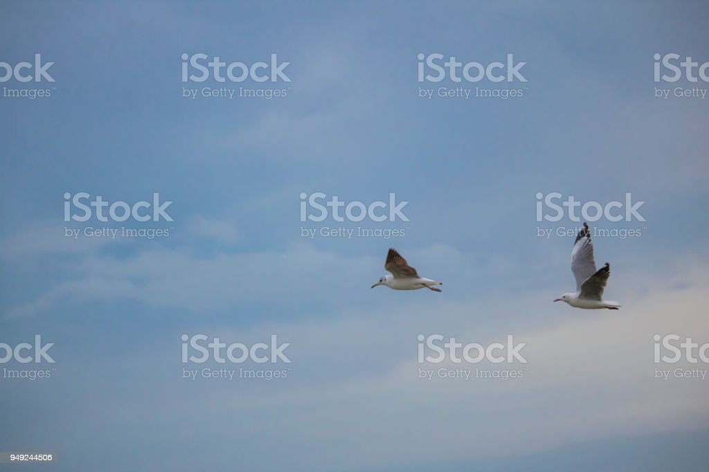 Seagulls in mid flight by the waterside on Paarden Eiland beach at sunrise. stock photo