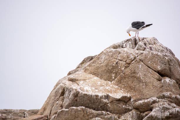 Seagulls in Monterey stock photo