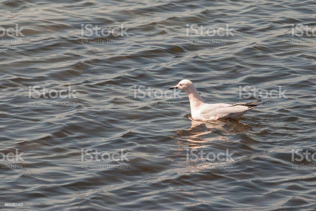 Seagulls in the Mar Menor in Murcia. Spain zbiór zdjęć royalty-free