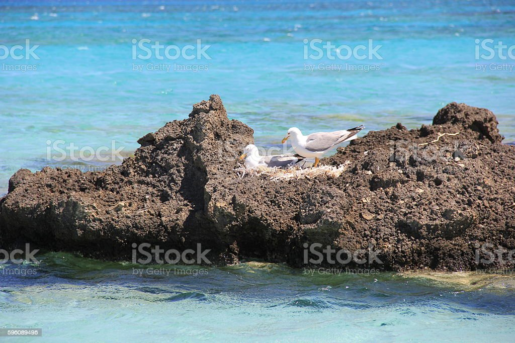 Seagulls in the nest on a large rock in the sea royalty-free stock photo