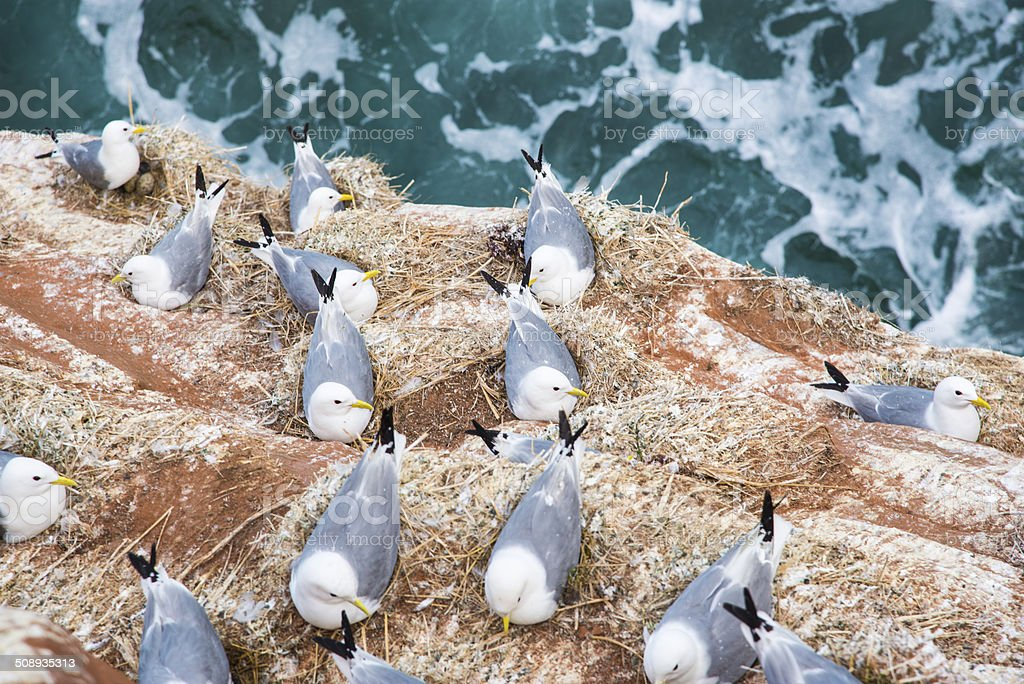 Seagulls In Their Nest On A Red Cliff Stock Photo - Download