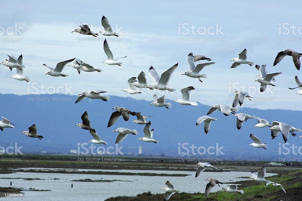 seagulls, Larus occidentalis, in flight over wildlife refuge stock photo