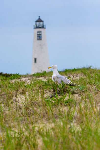 Seagulls nesting with a lighthouse in the background stock photo