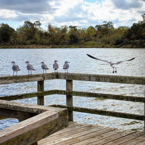 Seagulls on a Armand Bayou Dock stock photo