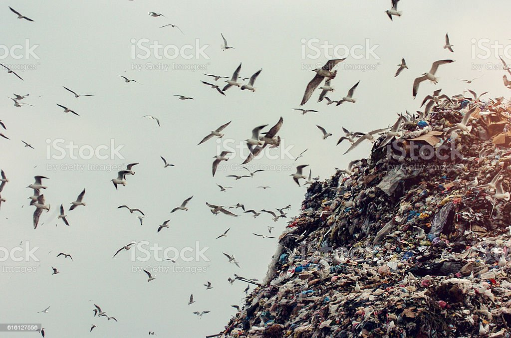 Seagulls on a landfill heap stock photo