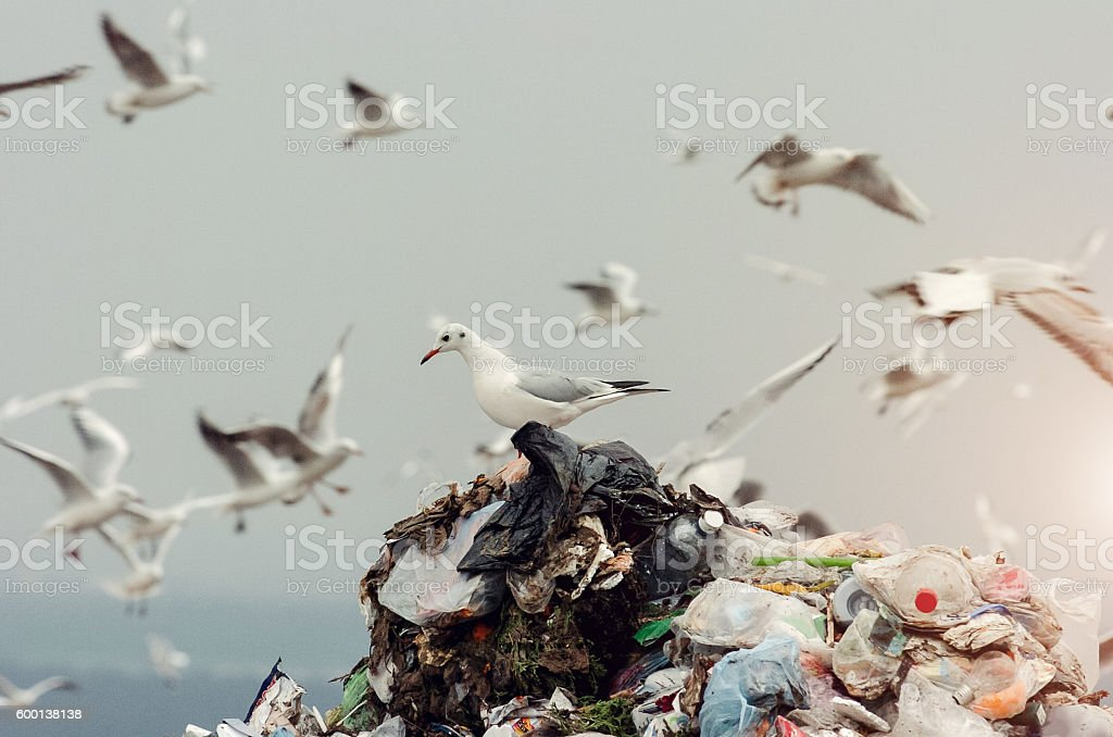 Seagulls on a landfill stock photo