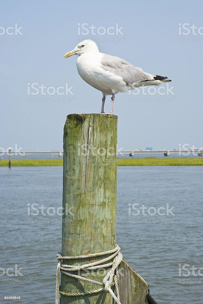Seagulls on a Piling royalty-free stock photo