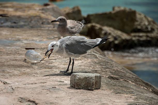 gabbiani su una roccia in spiaggia - uccello marino foto e immagini stock