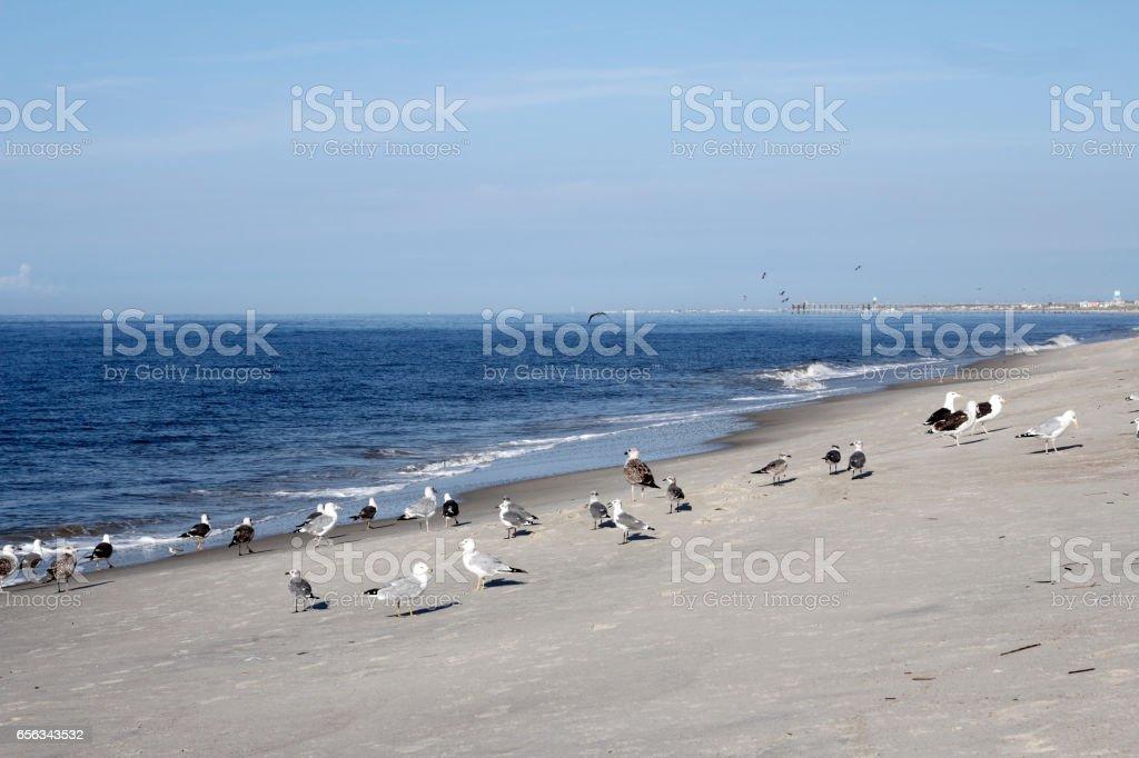 Seagulls on Caswell Beach, NC stock photo