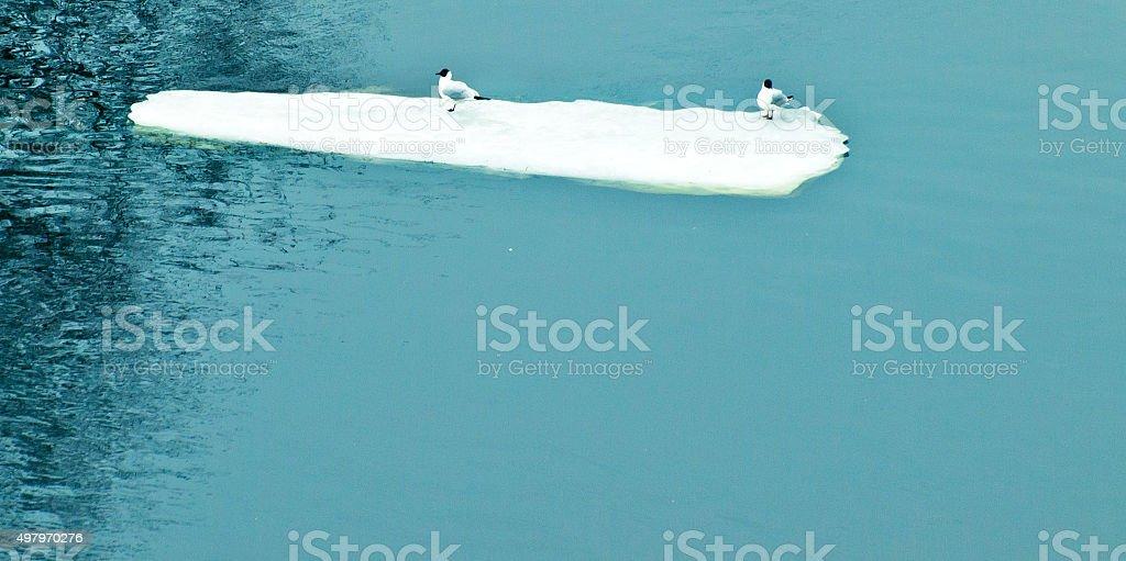 seagulls on ice-floe stock photo
