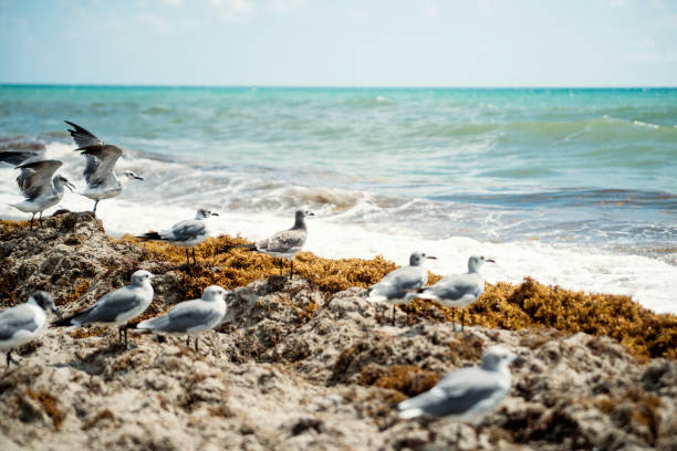Seagulls on the beach with seaweed. stock photo