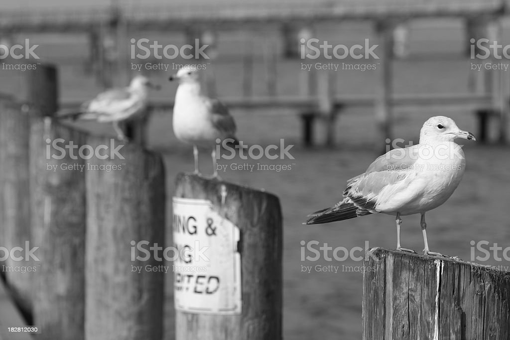 Seagulls on the dock in black and white stock photo
