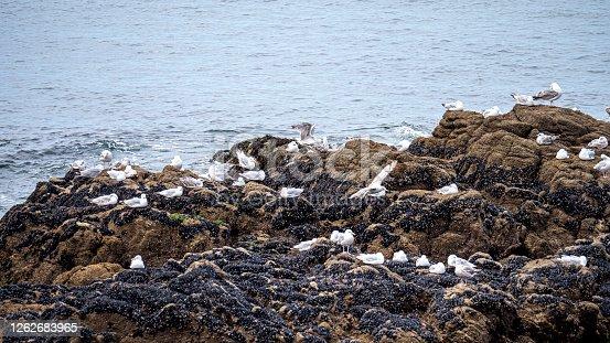 Meeuwen op de rotsen van de Franse kust aan de Loire Atlantique.