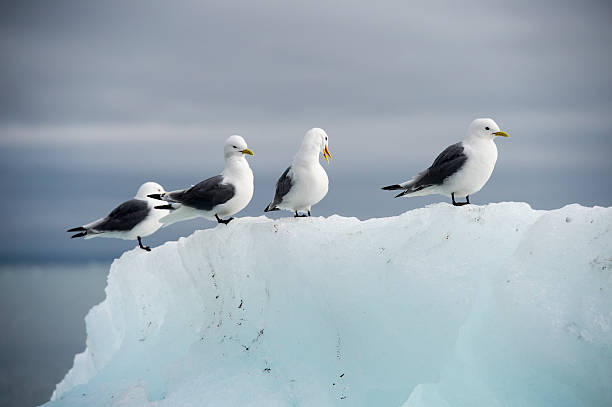 Seagulls on the iceberg stock photo