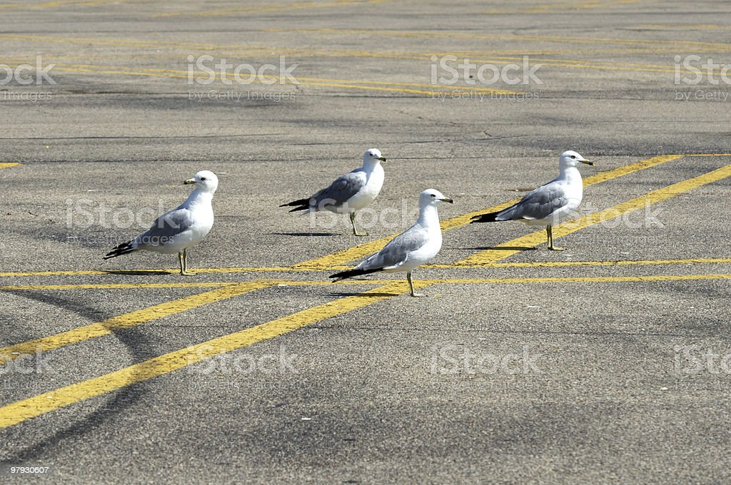 Seagulls on the Parking Lot royalty-free stock photo