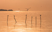 Seagulls and egrets flying in the air and standing on top of wood stick over water surface during sunrise in Bangpu, Samutprakarn of Thailand.