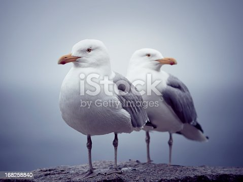A pair of Seagulls standing on a rock. Shot at Acadia National Park, Maine, USA.