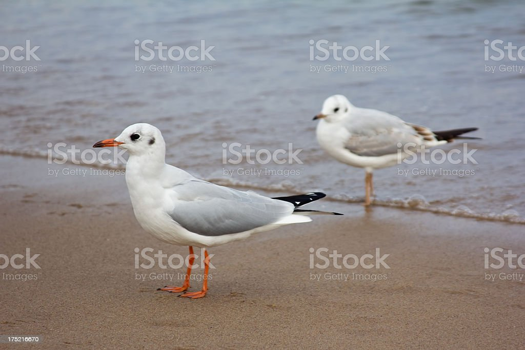 Seagulls stock photo