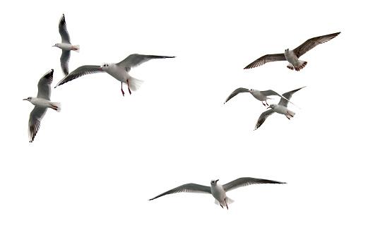 istock Seagulls 472848242