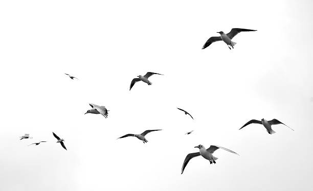 Seagulls Flaying Seagulls Isolated auk stock pictures, royalty-free photos & images