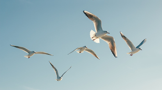 Seagulls in flight against the blue sky