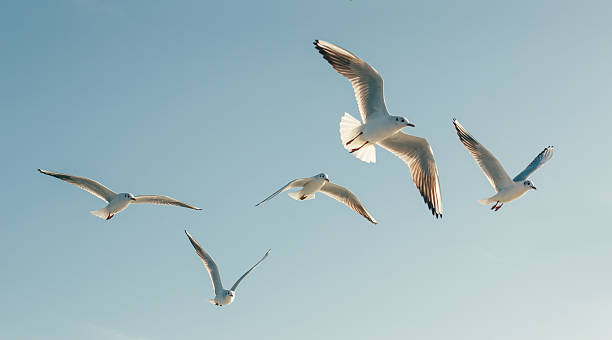 seagulls - bird stock photos and pictures