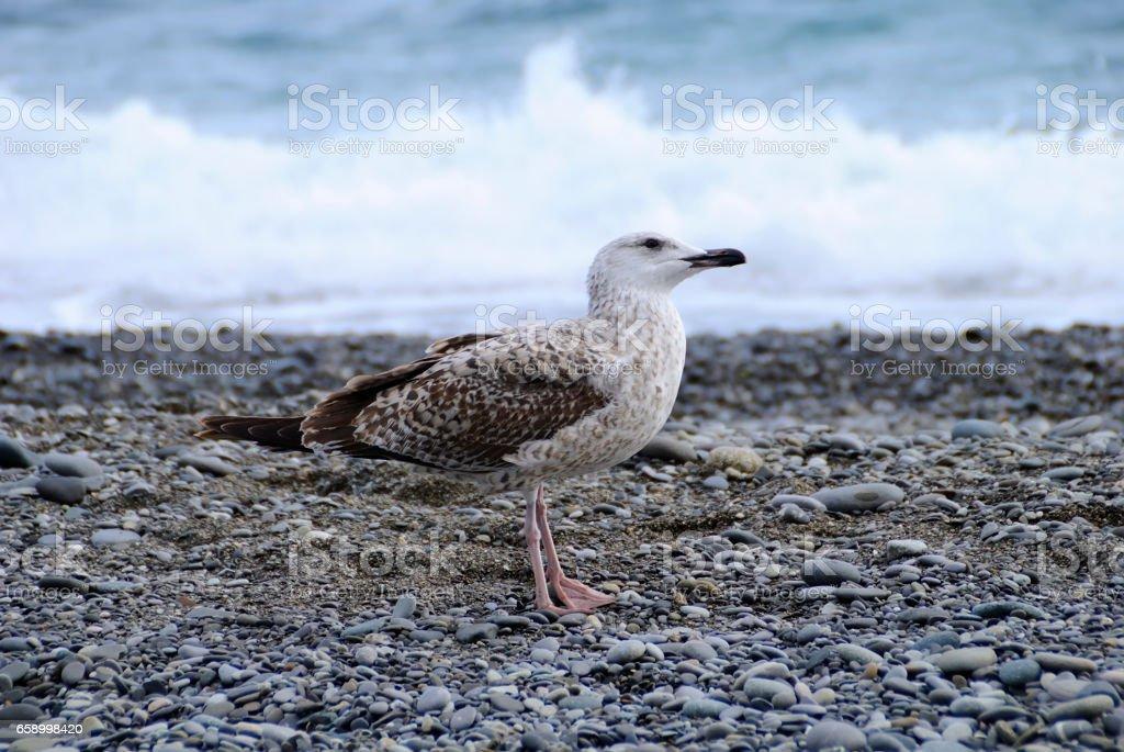 Seagulls. royalty-free stock photo