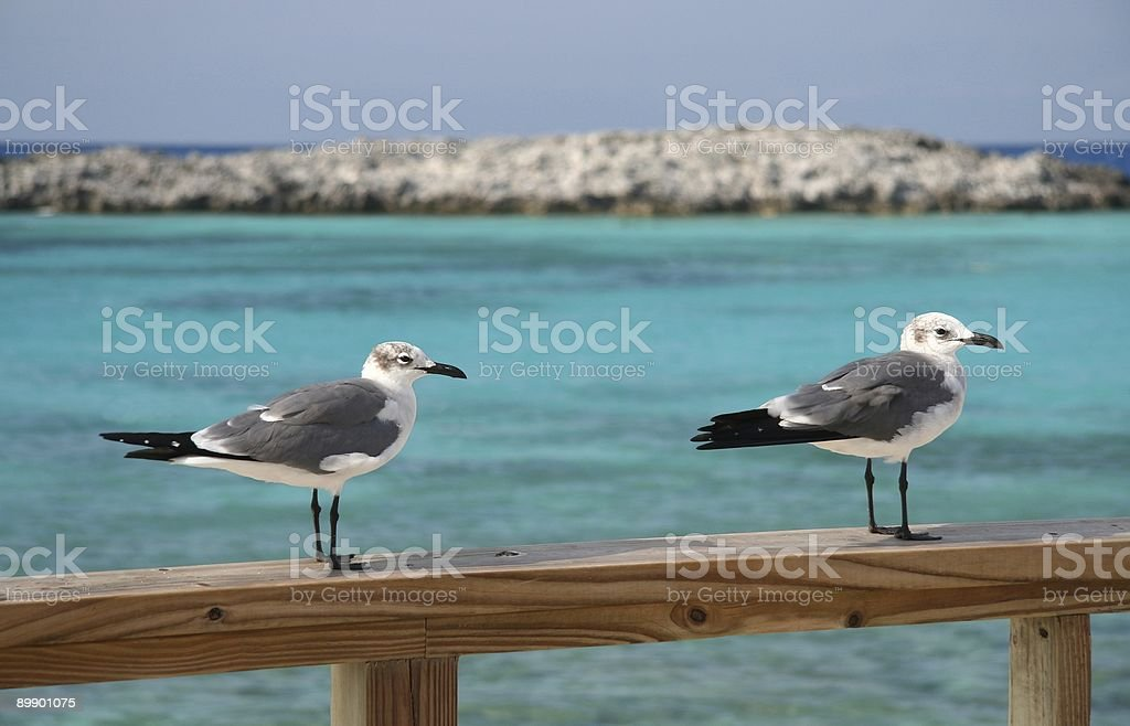 Seagulls royalty-free stock photo