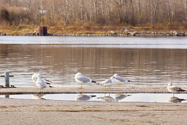 Seagulls Reflecting in a Pier Puddle stock photo